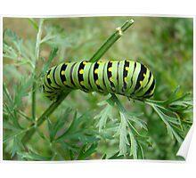 Tiger Swallowtail Caterpillar  Poster
