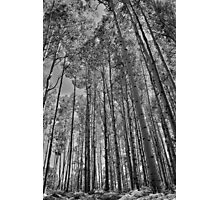 Black and White Aspens Photographic Print