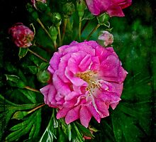 Secondhand Rose Enhanced by MotherNature