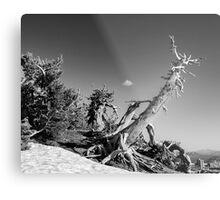 Crater Lake Pine Monochrome Metal Print