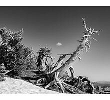 Crater Lake Pine Monochrome Photographic Print