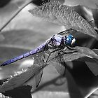 Blue Eyed Dragonfly by Sharon Woerner