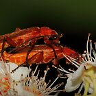 Red Soldier Beetles mating by Kane Slater