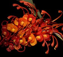 Grevillea aurea  by andrachne