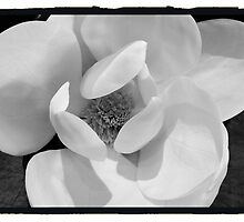 Magnolia Bloom by Barbara Wyeth
