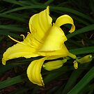 Golden Daylily by charmedy