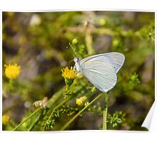 Banded Gold Tip Butterfly Poster
