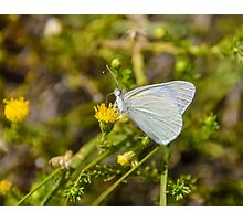 Banded Gold Tip Butterfly Photographic Print