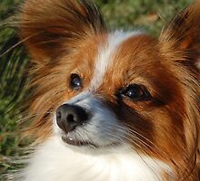 Papillon by amyboddie