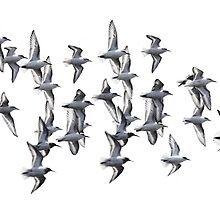 Sanderlings and Dunlins in Flight by arcadian7