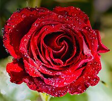 Red Rose with dawn dew. by Ann Pinnock