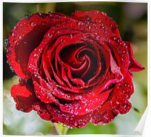Red Rose with dawn dew. Poster