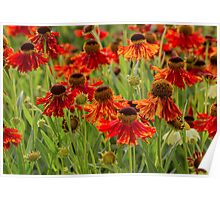 A bed of red flowers Poster