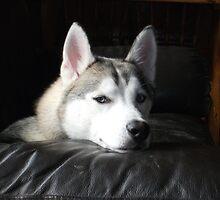 Siberian Husky by Vincent  Evans