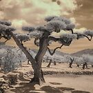 Olive tree bonsai infrared photography spain by Jane Linders