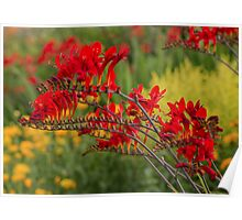 A bed of red Crocosmia Poster