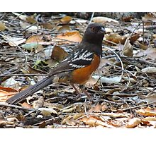 Just Spotted a Spotted Towhee Photographic Print