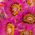 Beehive Cactus Flowers by David Oreol