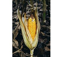 Corn Cob In Autumn Photographic Print