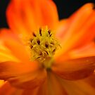 Bright Orange Flower by David Oreol