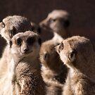 Meerkat Group by David Oreol