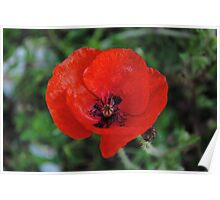 A Poppy By Any Other Name Poster