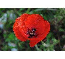 A Poppy By Any Other Name Photographic Print