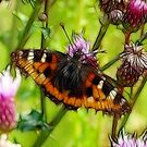 Butterfly and Thistles by Lisa Kent