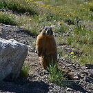 Marmot in the morning by Amanda Huggins