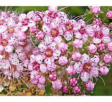 Pink Petal Perfection Photographic Print