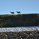 Two young elk by Amanda Huggins