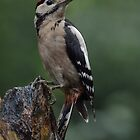 Juvenile great spotted woodpecker - II by Peter Wiggerman