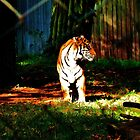 tiger in  the sun  by marxbrothers