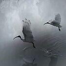 White Ibis by © Karin  Taylor
