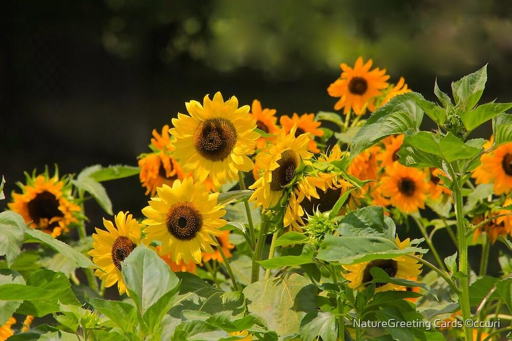 Sunflowers by NatureGreeting Cards ©ccwri
