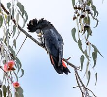 Red Tailed Black Cockatoo in Pink Gum Tree by Sandra Chung