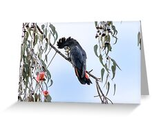 Red Tailed Black Cockatoo in Pink Gum Tree Greeting Card