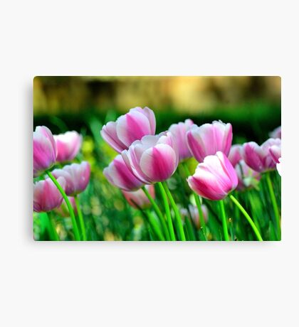 Pink Tulips in Spring Canvas Print