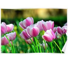 Pink Tulips in Spring Poster