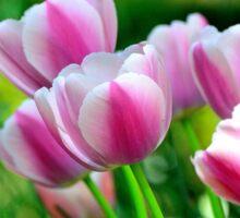 Pink Tulips in Spring Sticker
