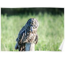 Great Gray Owl Poster