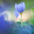 Crocus by Jill Ferry