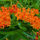 Butterfly Milkweed by Martha Sherman