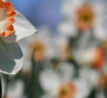 Daffodil II Sticker