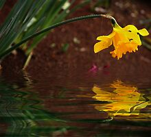 Daffodil Reflection by Elaine Teague