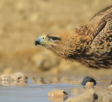 Tawny Eagle - African Raptor Background - Pleasure of Water by LivingWild