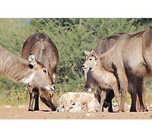 Waterbuck - African Wildlife Background - Cute Calf Antics Photographic Print