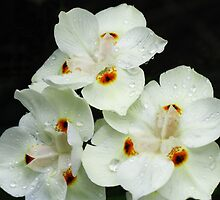 White variant of  Dietes Bicolor - Wild Iris by Marilyn Harris