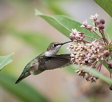 Ruby Throated Hummingbird 2016-1 by Thomas Young