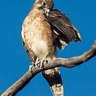 Brown Falcon Canberra Australia by Kym Bradley